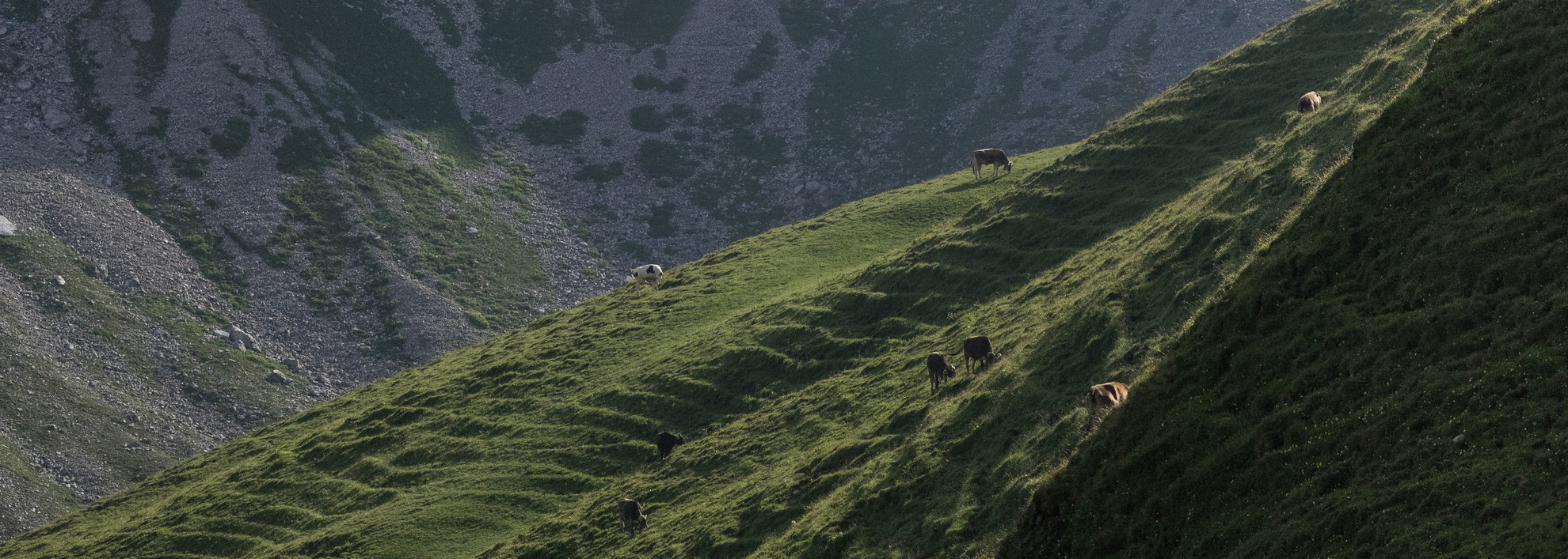 Cows on the Hochalpe | © Kleinwalsertal Tourismus eGen | Photographer: Andre Tappe